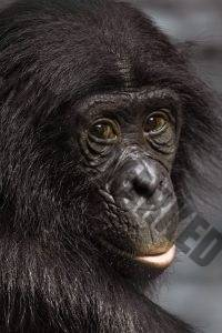 Bonobo © Becker1999 (flickr)